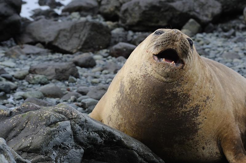 Female Southern Elephant seal