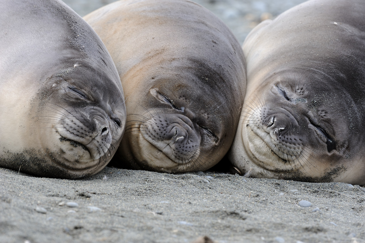 Southern Elephant seal pups, Macquarie Is, Aust.