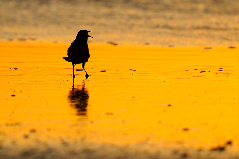 OBX, Grackle on the shore at sunrise