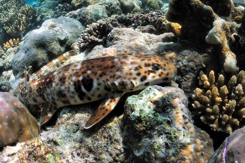 An epaulette shark in labor!