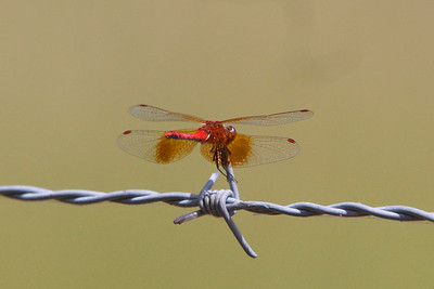 Band-winged Meadowhawk