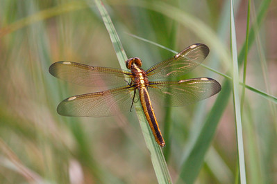 Female Spangled Skimmer