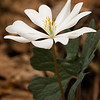The Bloodroot is so named because the sap in the root is a bright red-orange color.  It is one of the early blooming wildflowers of the area.  The leaves curl around the buds as they emerge, to protect them from possible freezing in the early Spring.