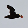 Tufted Puffin<br /> off SE Farrallon Island, CA<br /> Aug 7, 2011