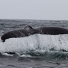 Humpback Whale<br /> off Farallon Islands, CA<br /> August 7, 2011