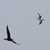 Parasitic Jaeger chasing Elegant Tern