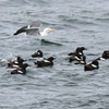 Pigeon Guillemots with Western Gull<br /> off SE Farrallon Island, CA<br /> Aug 7, 2011