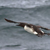 Common Murre<br /> off SE Farrallon Island, CA<br /> Aug 7, 2011