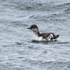 Juvenile Pigeon Guillemot<br /> off SE Farrallon Island, CA<br /> Aug 7, 2011