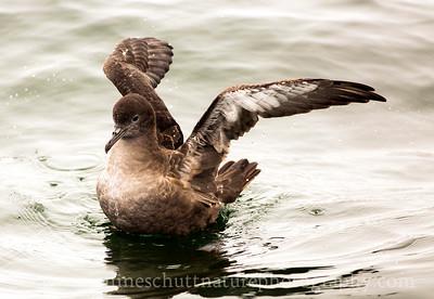 Sooty Shearwater offshore from Westport, Washington.  Photo taken from a Westport Seabirds trip in July 2018.