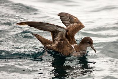 Sooty Shearwater offshore from Westport, Washington.  Photo taken from a Westport Seabirds trip in August 2019.