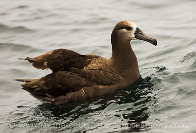Juvenile Black-footed Albatross offshore from Westport, Washington.  Photo taken from a Westport Seabirds trip in July 2018.