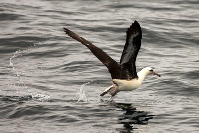 Laysan Albatross offshore from Westport, Washington.  Photo taken from a Westport Seabirds trip in August 2019.