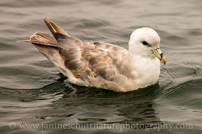 Northern Fulmar offshore from Westport, Washington.  Photo taken from a Westport Seabirds trip in July 2018
