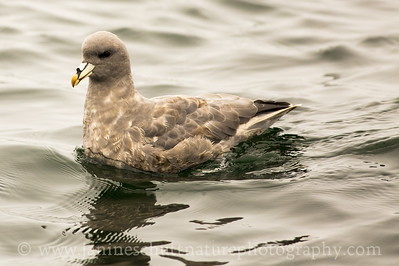 Northern Fulmar offshore from Westport, Washington.  Photo taken from a Westport Seabirds trip in July 2018.