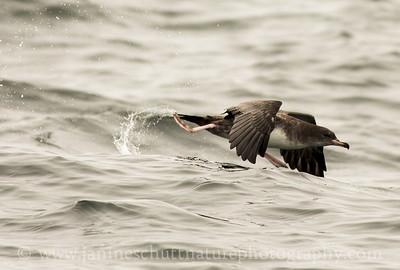 Pink-footed Shearwater offshore from Westport, Washington.  Photo taken from a Westport Seabirds trip in July 2018.