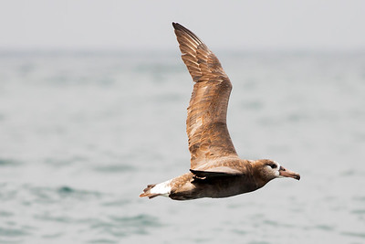 Juvenile Black-footed Albatross offshore from Westport, Washington.  Photo taken from a Westport Seabirds trip in August 2019.