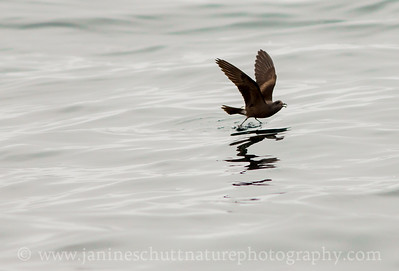 Leach's Storm-petrel offshore from Westport, Washington.  Photo taken from a Westport Seabirds trip in July 2018.