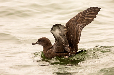 Sooty Shearwater offshore from Westport, Washington.  Photo taken from a Westport Seabirds trip in July 2018