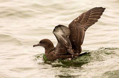 Sooty Shearwater offshore from Westport, Washington.  Photo taken from a Westport Seabirds trip in July 2018