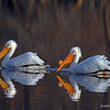 Pelicans with reflection in early morning perect lighting