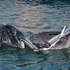 two pelicans fighting over a baby shark at Shem's Creek, South Carolina.  Notice how one is using its wing to hold its beak down over the fish.