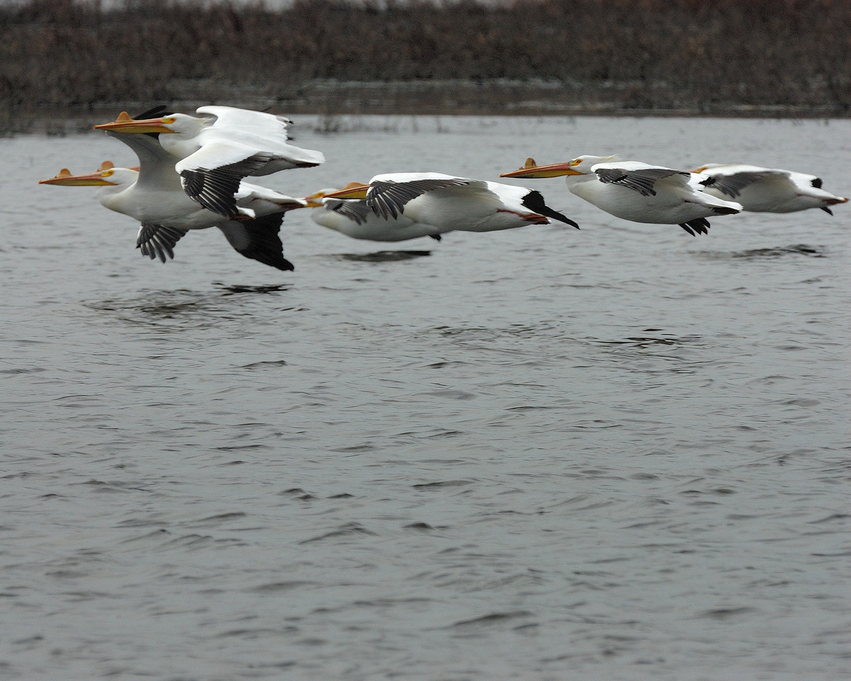 American Pelican (5)