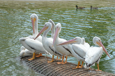 Beautiful white pelicans - #6755