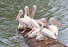 Beautiful white pelicans - #6663