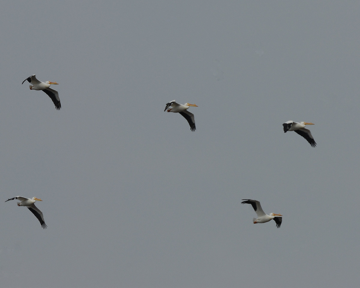 American Pelican (4)