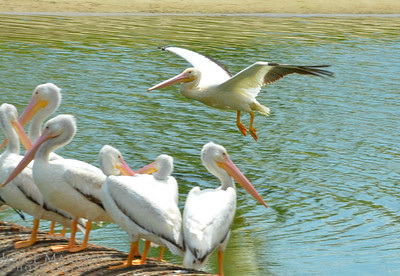 Beautiful white pelican on a fly by -- #6772