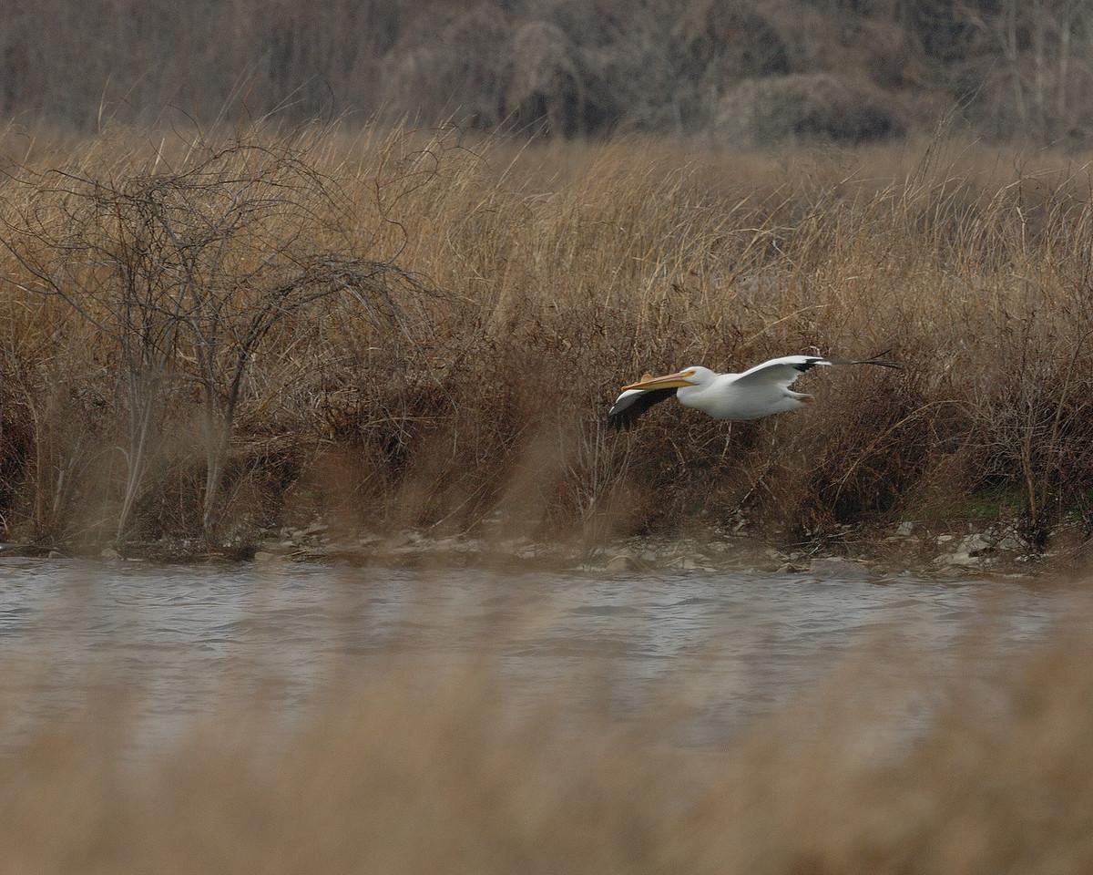 American Pelican (7)
