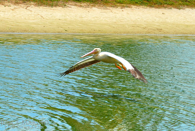 Beautiful white pelican coming in for a landing -- #6769