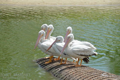 Beautiful white pelicans - #6960