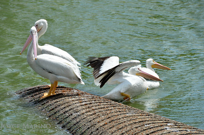Beautiful white pelicans - #7002
