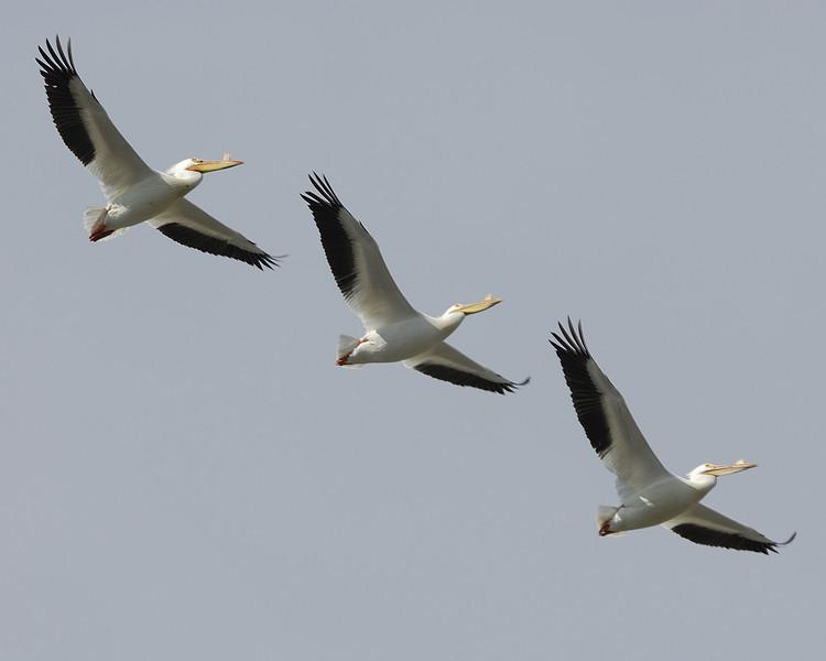 American Pelican (12)