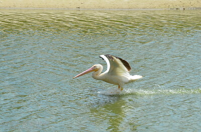 White pelican's expert landing -- #6781