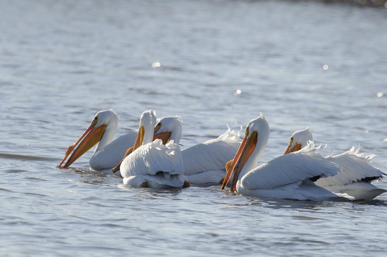 American Pelican (22)