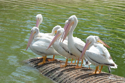 Beautiful white pelicans - #6932