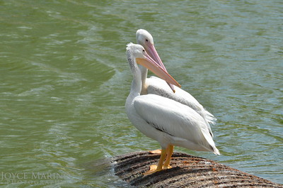 Beautiful white pelicans - #7021