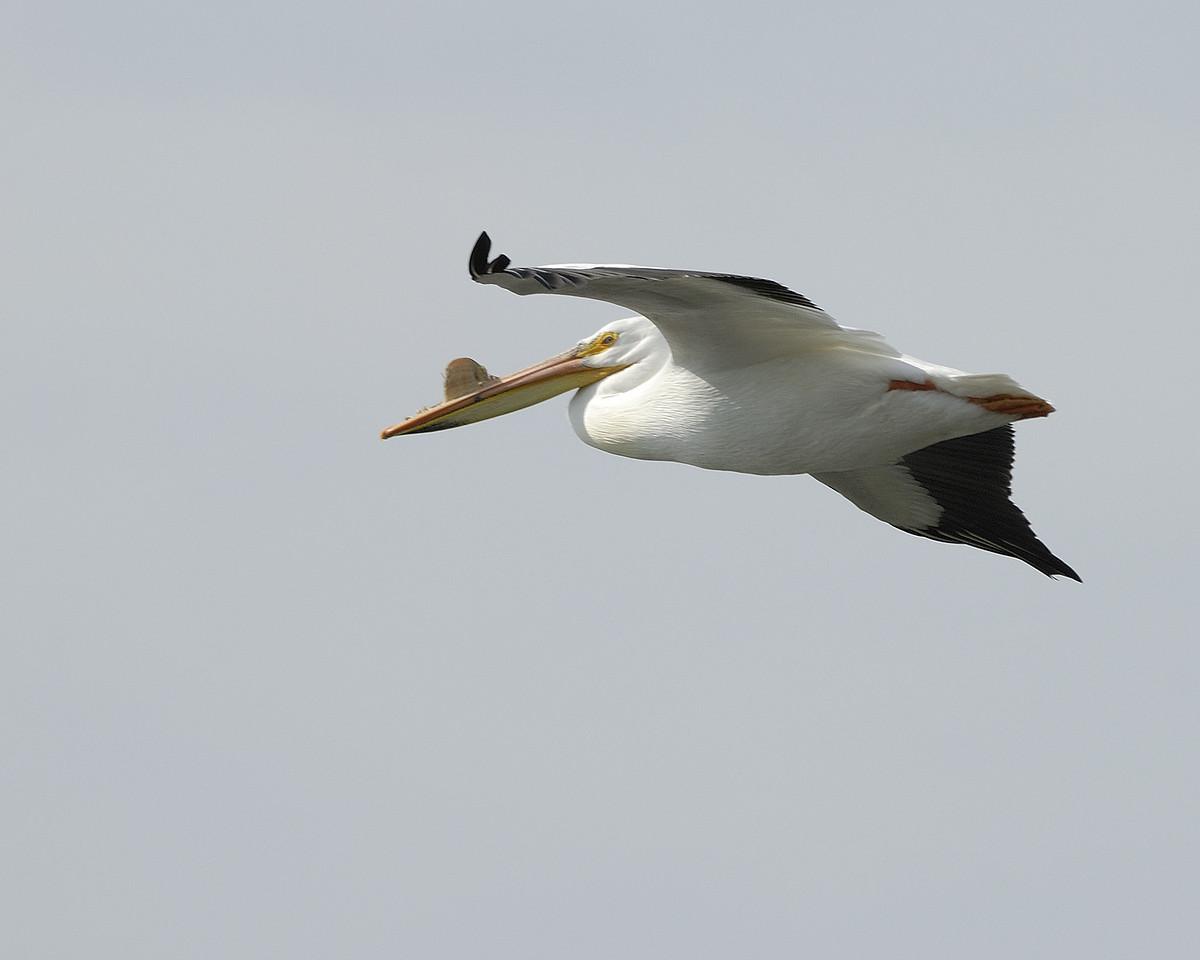 American Pelican (15)