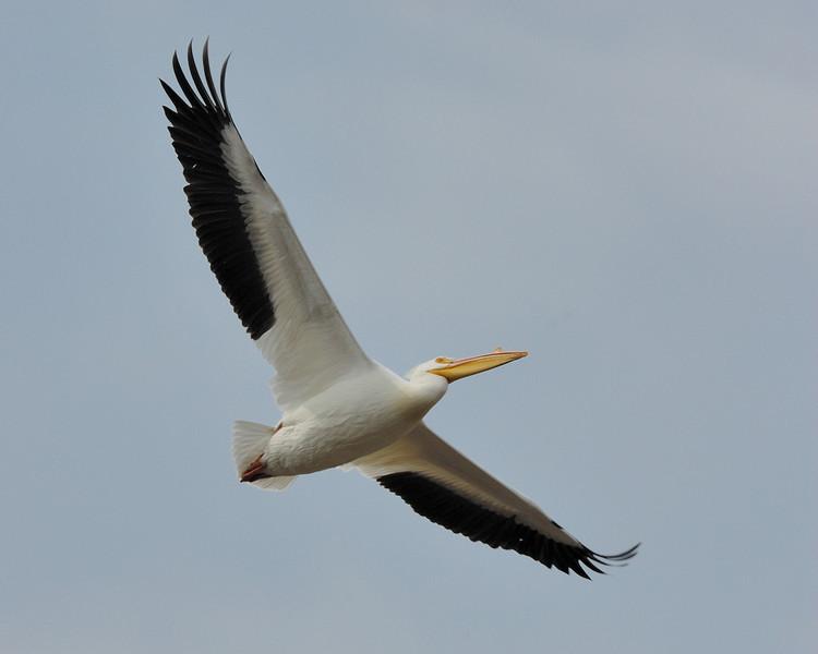 Americal Pelican (1)