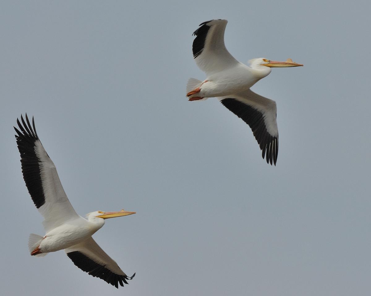 American Pelican (10)