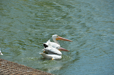 Beautiful white pelicans - #7008