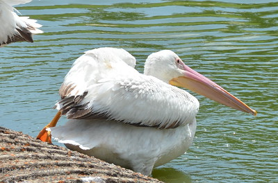 Beautiful white pelicans - #6949