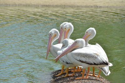 Beautiful white pelicans - #6997