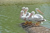 Beautiful white pelicans - #6970