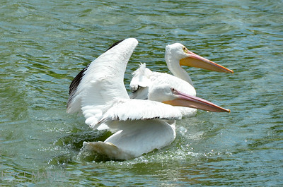 Beautiful white pelicans - #7004