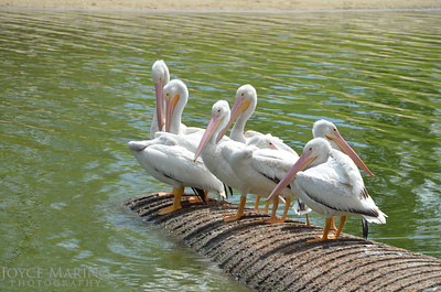 Beautiful white pelicans - #6919