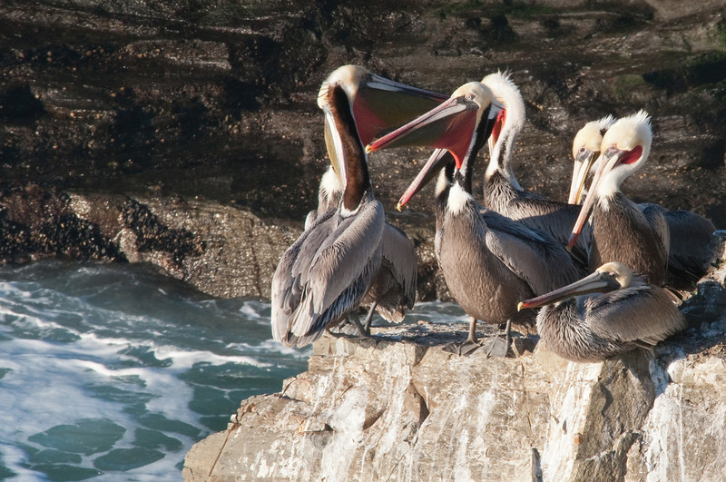 Pelican Pride
